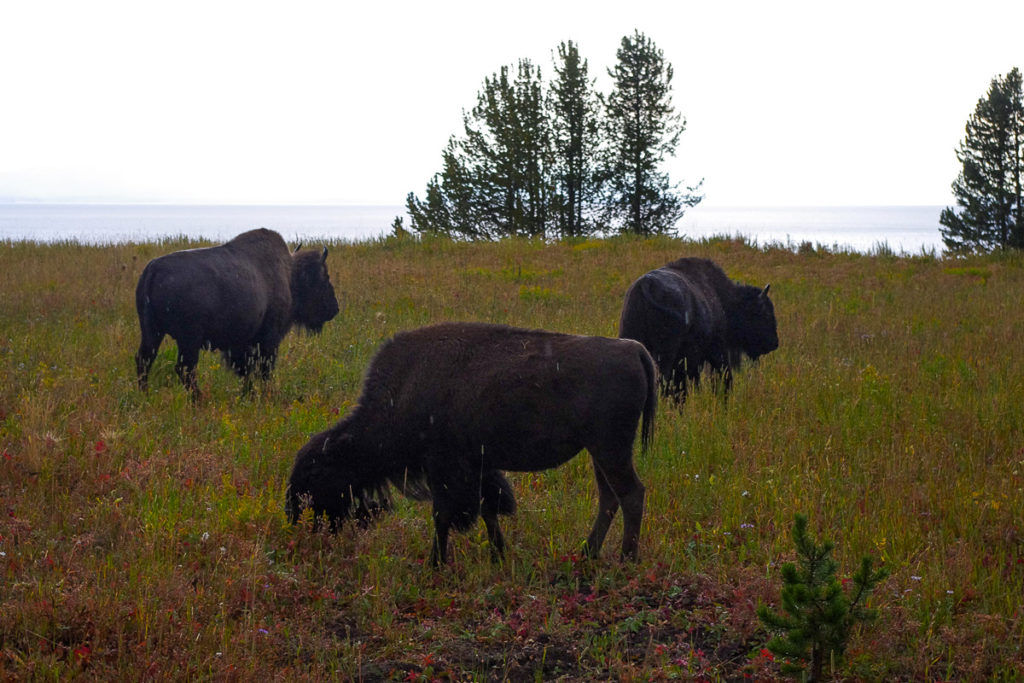 Bisons eating grass near a lake in Montana