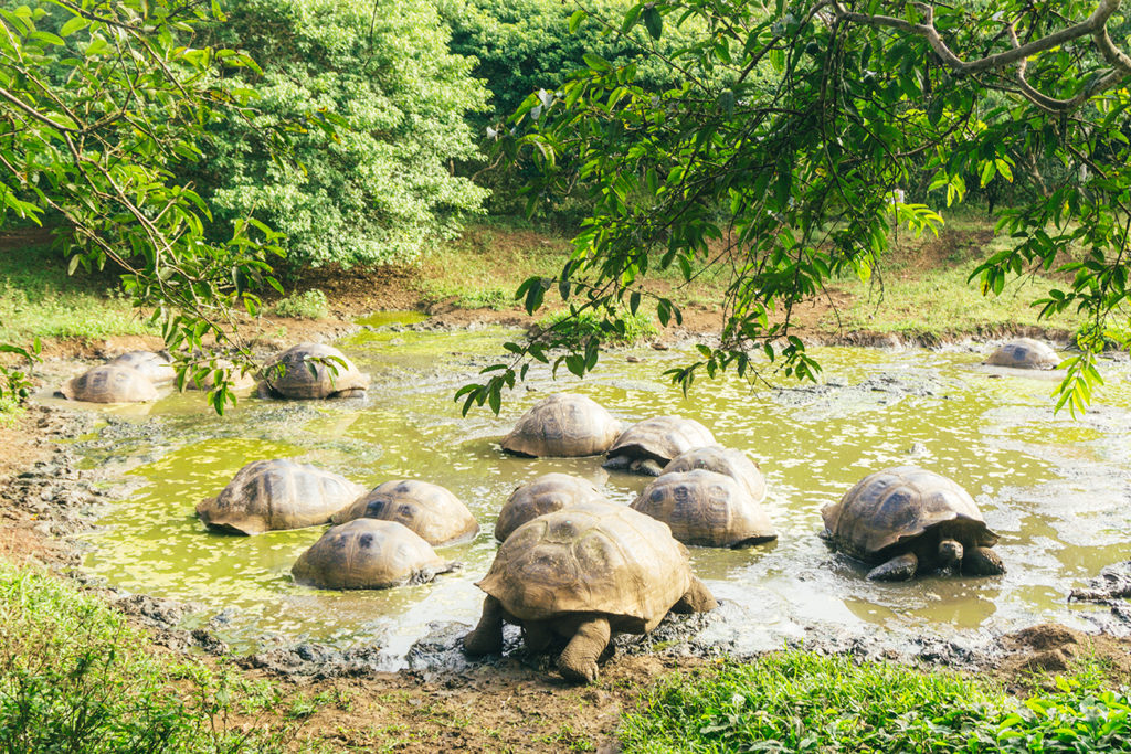 Giant Tortoises in Santa Cruz highland.