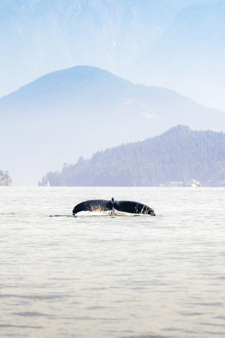 Humpback Whale in British Colombia