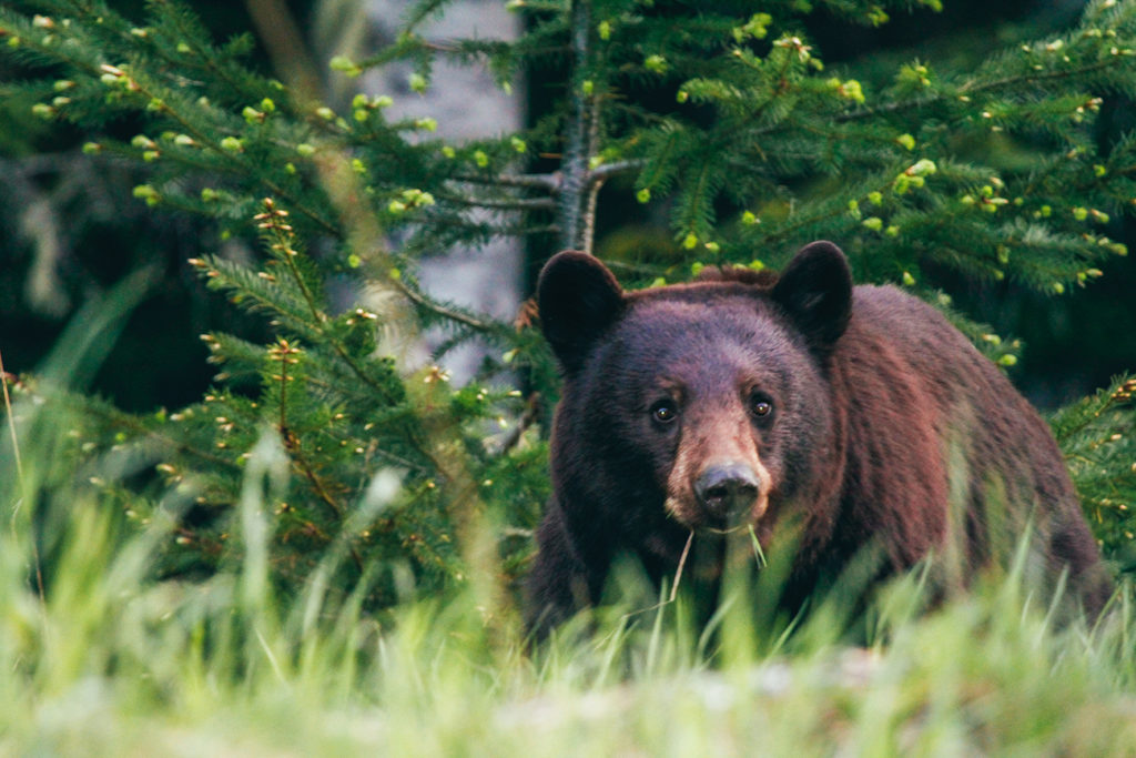 Black bear spotted in British Columbia.